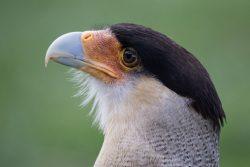 Vogelwelt Chile