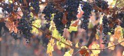 Chilenischer Weinbau