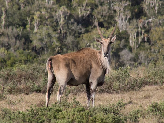 dei grösste Antilopenart