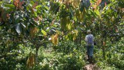 in der Kakaoplantage