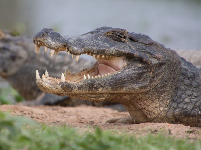 ein Krokodil öffnet das Maul