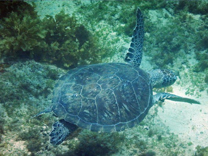 Meereschildkröte beim schnorcheln