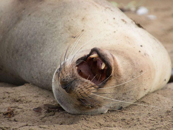 ein Seelöwe auf dem rücken auf Galapagos