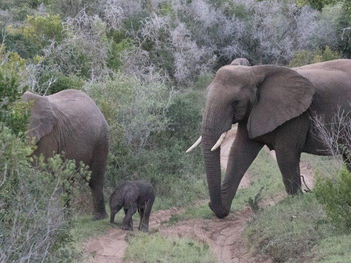 eine Elefantenfamilie kreuzt den Weg