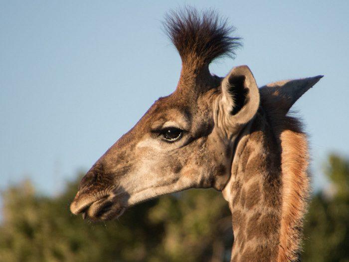 eine männliche Giraffe