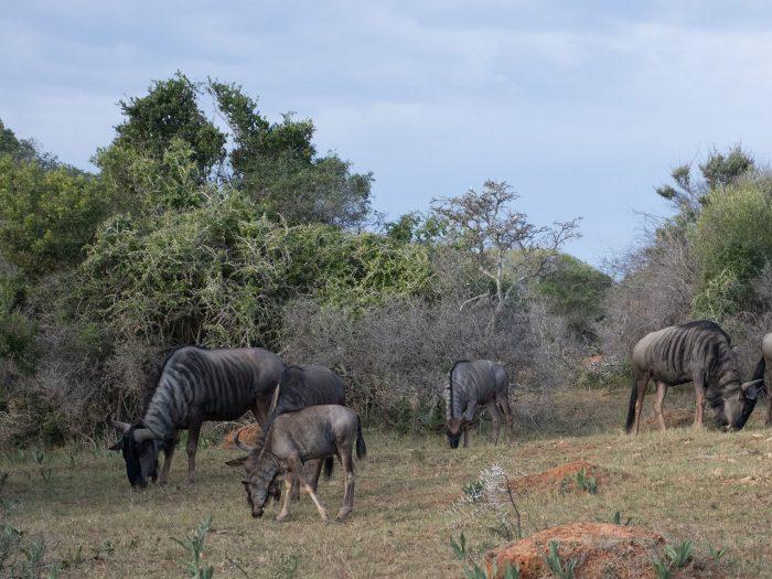 eine Gnuherde in südafrika