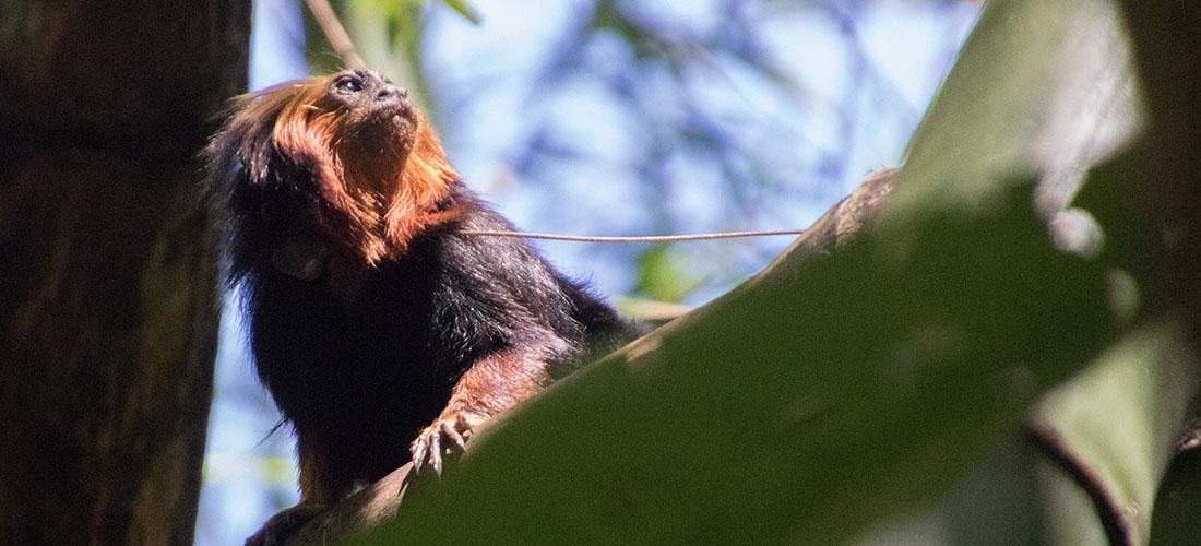 Goldkopflöwenäffchen im Kakaowald