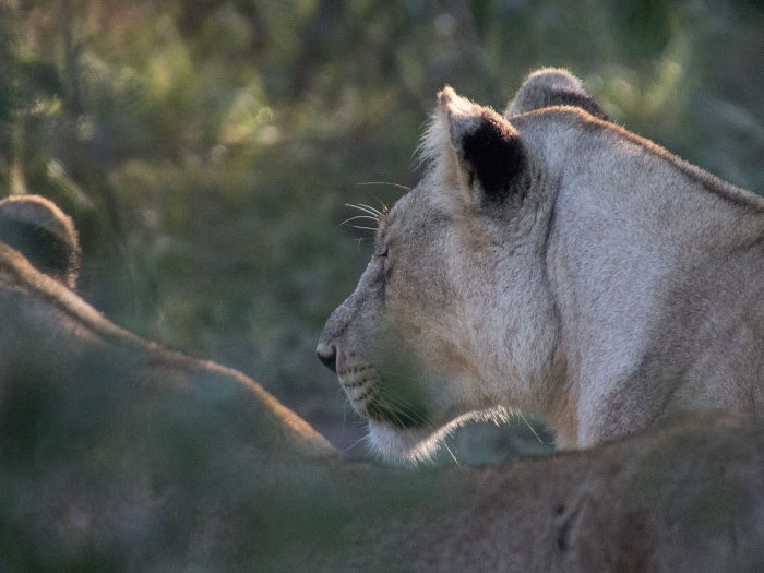 zwei löwinen auf der Suche