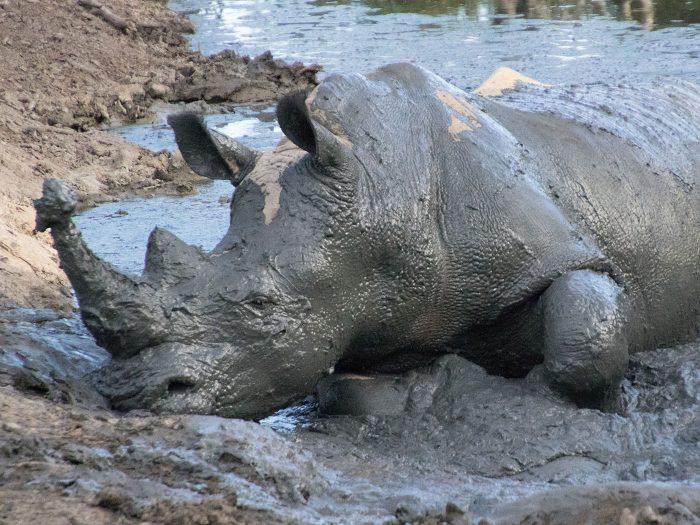 ein Nashorn mit Schlamm