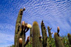 Kaktus in Puquen