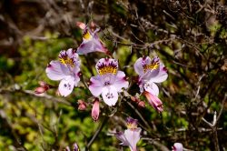 Alstromeria Blume in Puquen