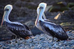 mehrere Pelikane