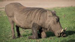 Tierwelt Afrikas