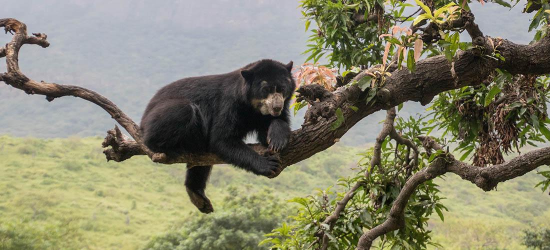 Peru Reise – Auf der Suche nach Brillenbären