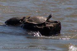 Schlangenhalsschildkröte