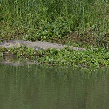 Tumbes Krokodil