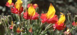 Chilean flora