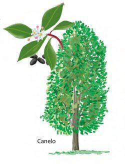 Canelo tree