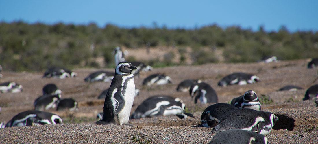 Penguins at Punta Valdes