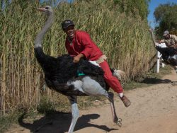 avestruz con persona