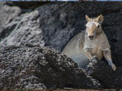 animal en las rocas
