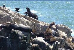 lobos marinos en la roca