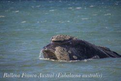 una Ballena Franca Austral