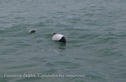 un Commerson Delphin