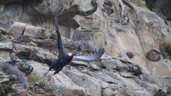 un condor volando