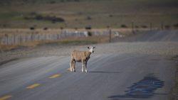 oveja en la ruta