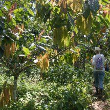 plantacion de cacao