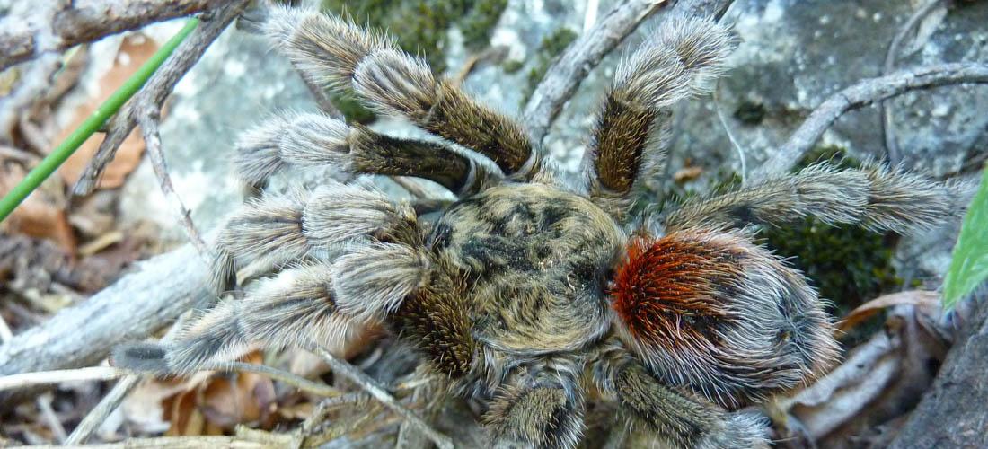 Arañas de Chile